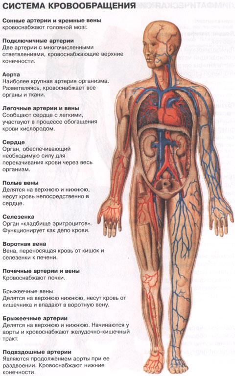 Внутренним органам человека, как и самимлюдям, нравятся разные мелодии.